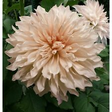 New Special Dinner Plate Decorative Dahlia 'Cafe Au Lait' Prins Bulb/Tuber
