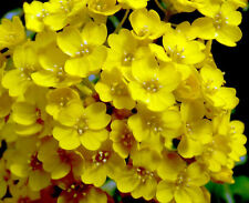 BASKET OF GOLD - 500 seeds - Alyssum saxatile Aurinia Saxatilis - ROCKERY FLOWER
