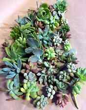 50 Mixed Succulent Cuttings - SMALL SIZE