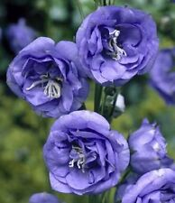 50+ Campanula Canterbury Double Blue Bells  Flower Seeds  /  Perennial