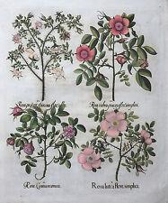 HORTUS EYSTETTENSIS BESLER ALTKOLORIERT ROSE ROSA CINNAMOMEA RUBRA SPINOSA 1613
