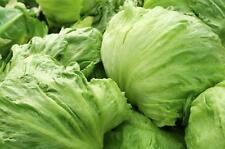 Lettuce Iceberg appx 600+ seeds  0.7g - Vegetable seeds salad