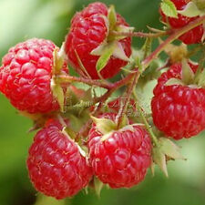 100  Red Raspberry Seeds eye catching fruit garden center