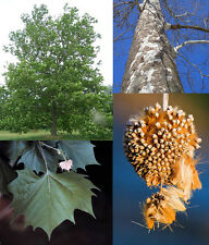 American Sycamore.     100 seeds.    trees, seeds