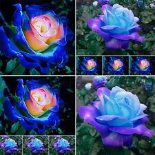 50Pcs Hot Sell Popular Blue-Pink Rose Flower Seeds Home Garden Plants Rare