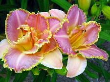 """Unlock The Stars Daylily Perennial - Hemerocallis - 4"""" Pot"""