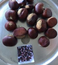 5 2016 Chinese Chestnut Seeds, Edible Nut Tree