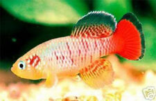 The Tropical Fish Killifish Nothobranchius GUENTHERI RED 50 Eggs Easy Hatch