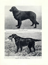 FLAT COATED RETRIEVER TWO DOGS OLD ORIGINAL DOG PRINT PAGE DATING FROM 1934