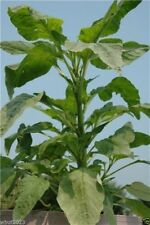 Jamaican CALLALOO,(500 Seeds) amaranth, Used in,West Indian & Asian Cuisines
