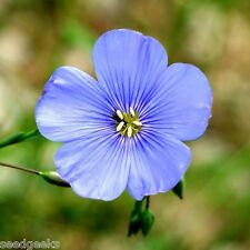 Blue Flax Heirloom Seeds - Non-GMO - Untreated - Open Pollinated!