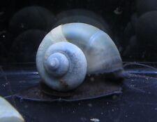 5 Blue Mystery Snail Live Freshwater Aquarium Snails