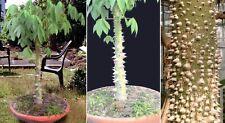 Kapok- Baum Samen✿ Blühbaum Pflanze für das Frühjahr den Garten Balkon die Stube