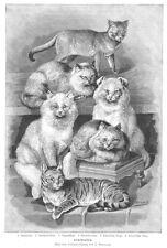 Katzen, Katzenrassen, Angora, Zypern, Orig.-Holzstich von Bungartz von 1897