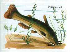 IMAGE CARD 60s Poisson-chat commun (Ameiurus melas) Siluriformes Catfish