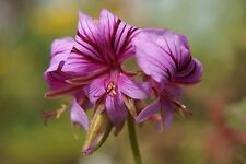 Pelarginium suburbanum - Rock Pelargonium - 5 Fresh Seeds