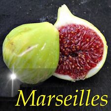 ~MARSEILLES~ FIG Ficus carica Cold Hardy FRUIT TREE LIVE small potted PLANT