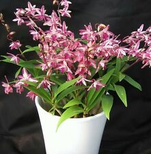 Rare Thailand Orchid Plant  - Dendrobium- King Red Splash at New Year offer rate