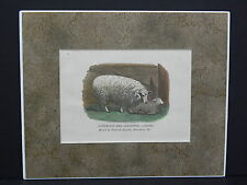 Sheep, c.1890's Matted, ready To Frame #04 Cotswold And Leicester