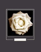 Harold Feinstein Ivory Rose Poster Kunstdruck Bild 50x40cm - Kostenloser Versand
