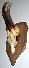 Black Forest Roe Deer Buck Antlers Hunting Country Trophy Rehbock Shield Mount.