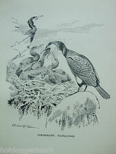 ANTIQUE PRINT DATED 1923 BIRDS & THEIR YOUNG CORMORANT BY ROLAND GREEN