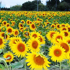 Sunflower Seed 15 Seeds Of Each Pack France Edible Sunflower Seeds Garden A007