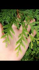 Green Giant Thuja  10 Total 2 To 3 Foot