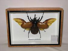 EUPATORUS GRACILICORNIS - 3D - taxidermie - une beauté unique Naturalise - réel