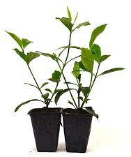 Gardenia Jasminoides 'Veitchii' - Fragrant - 2 pack Hardy fragrant Fresh Mature
