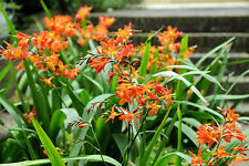 Crocosmia Montbretia 6 Plants Ready for the Garden UKgrown First Class Post