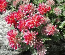 ANTHYLLIS RED CARPET Anthyllis Vulneraria Coccinea - 100 Bulk Seeds