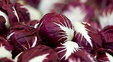 Radicchio- Verona Red- (Lettuce) Chicory 500+ 2017 Seeds      Combined Shipping
