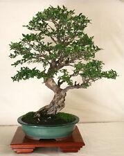 Japanese Elm (Zelkova serrata) Seeds - Bonsai or Feature - 40 Seed