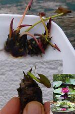 """Zwergseerose  """"Nymphea Rose Arey Bonsai"""" für´s Aquarium Weihnachtsgeschenke Deko"""