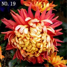 Chrysanthemum seed  countryard balcony decoration 30 seeds NO.19