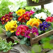 Primrose Flower Seed 50 Seeds Primula Malacoides Patio Garden balcony yard