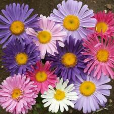 China Aster 400 Seeds Beautiful Mixed of Colored Blooms
