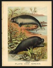 DUGONG, MANATEE, Vintage 1897 Chromolithograph Print, Antique, 030