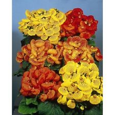 25+ Calceolaria Pocketbook Plant Flower Seeds / Annual