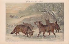 WÖLFE Wolf Canis lupus Wolfsrudel CHROMOLITHOGRAPHIE von 1898 Specht