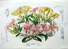 HOOKERS INDIAN PINK,CALIFORNIA, Van Houtte,Antique Botanical Flower Print c1850