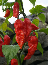 Ghost peppers harvested Oct. 2016. 20 seeds each of red, purple, peach & choc.