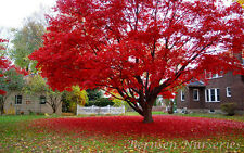 NEW Listing!  2 Red Maple Trees 3 feet tall 23.99 Free  Shipping NOW!!