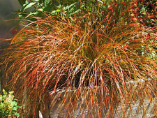 1L Pot Carex Testacea Orange Sedge Ornamental Evergreen Grass Garden Plant