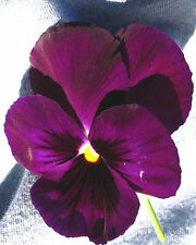 25 graines Pensée Géante Violette(Viola wittrockiana)X195 PURPLE PANSY SEEDS