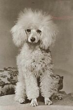 Miniature Poodle Dog Vintage 1933 Photo New Blank Note Cards