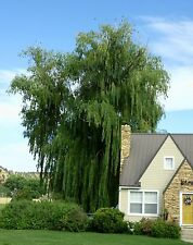 20 Weeping Willow  cuttings  Salix babylonica FAST GROWING Privacy hardy shade
