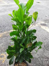 """2 MIRACLE FRUIT PLANT 15-18""""Tall Free Phyto Doc Very Good Taste"""