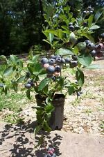 TIF BLUE Blueberry Live Healthy Plant Blueberries Natural Vitamins Amino Acids !